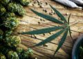 Here Are a Few Ways to Figure Out Who you Can Trust as a Cannabis Seed Supplier